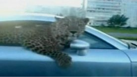 Video: Leopard in Audi TT